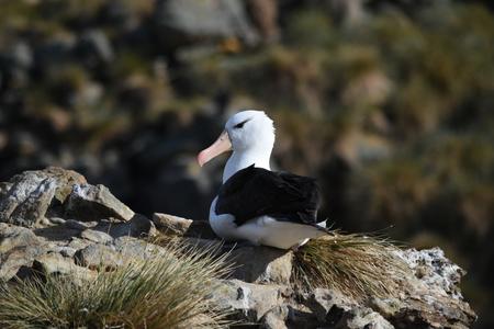 falkland: black-browed albatross at Falkland