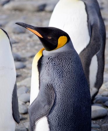 south georgia: King Penguin with open Eye, Salisbury Plain, South Georgia Stock Photo