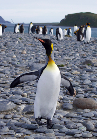 south georgia: dancing king penguin in Salisbury Plain, South Georgia