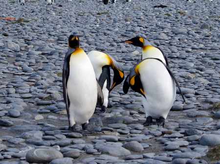 south georgia: King Penguins Salisbury Plain South Georgia Stock Photo