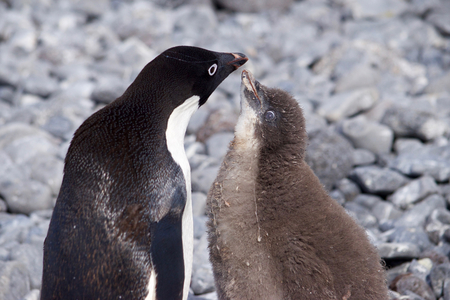 weddell: young Adeliepenguin begging for food