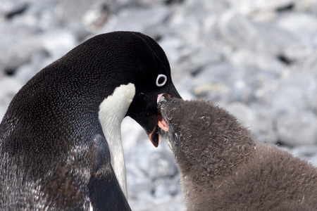 weddell: Adelie Penguin feeding Stock Photo