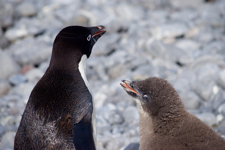 weddell: Mother and Child, Adelie Penguins at Paulet Iceland Antarctica