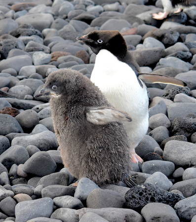 weddell: Mother and Child, Adelie Penguins at Paulet Island Antarctica Stock Photo