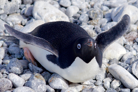 weddell: Adelie Penguin at Paulet Island Antarctica Stock Photo