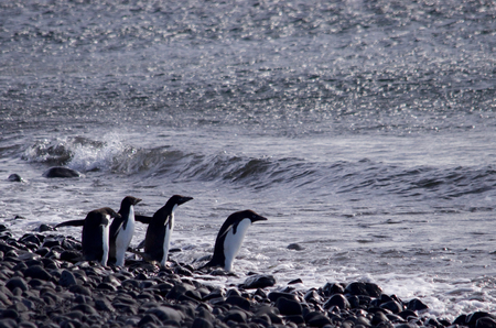 weddell: Adelie Penguins at Paulet Island Antarctica