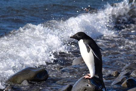 antarctica: Adelie Penguin at Paulet Iceland Antarctica