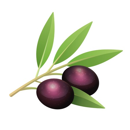 three leaf: Isolated olives branch with leaves and two fruits
