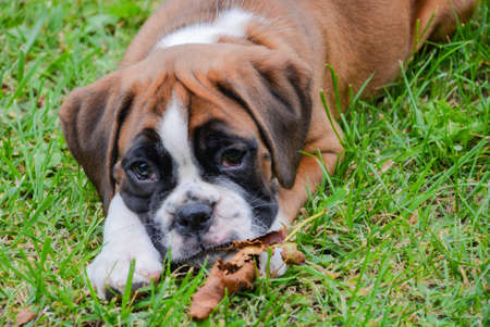 dead dog: Very lovely fawn boxer puppy playing on the grass with a dead leaf in the Drome Provenale. Stock Photo