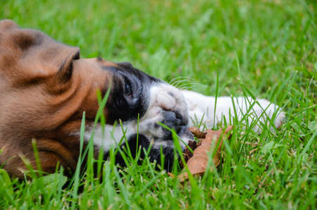 dead dog: Beautiful fawn boxer puppy lying on the grass with a dead leaf in the Drome Provenale Stock Photo
