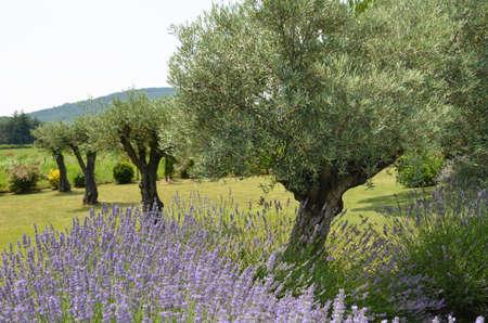 centenarian: Flores de lavanda con hermosos �rboles de olivo en el fondo en el c�sped en el campo, Dr�me provenzal, Francia.