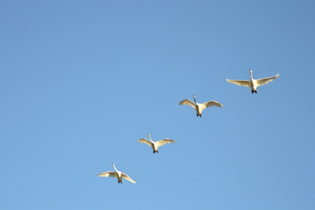 Four swans are flying through the sky in a line formation
