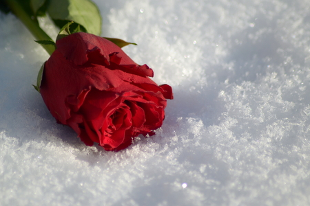 A single red rose is lying in the sparkling snow.