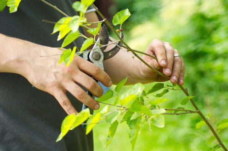 A sunny, gardening scene with human hands, secateurs and branches.
