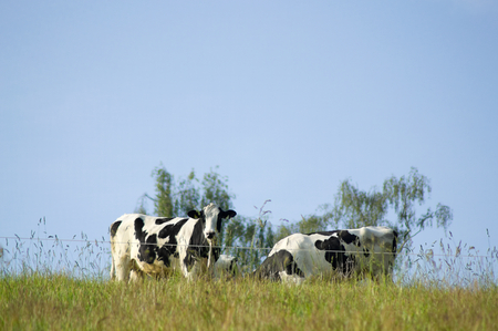 A group of black and white cows is standing on a green meadow. Standard-Bild