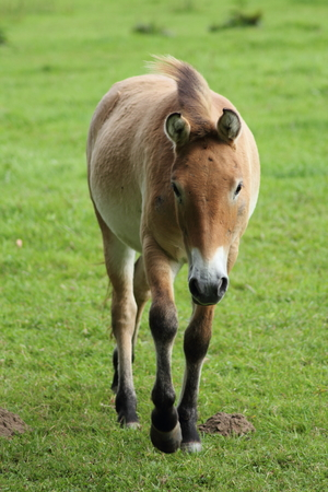 hoofed animals: The Przewalski horse, also Takhi, Asian wild horse or Mongolian wild horse called, is the only subspecies of the wild horse which has survived in her wild form till this day.