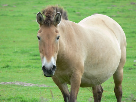 hunted: The Przewalski horse, also Takhi, Asian wild horse or Mongolian wild horse called, is the only subspecies of the wild horse which has survived in her wild form till this day.