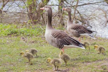 anser: Greylag Goose (Anser Anser) Stock Photo