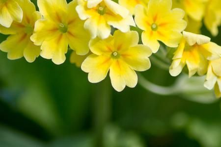 primroses: Yellow flowers Primroses (Primula vulgaris) on a bed