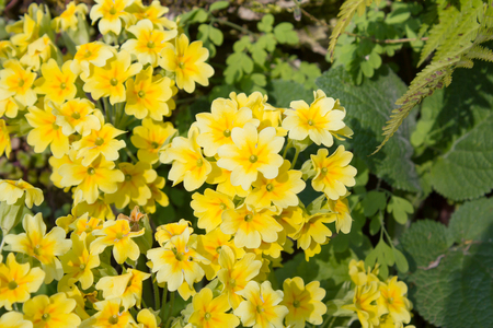 primula: Yellow flowers Primroses (Primula vulgaris) on a bed