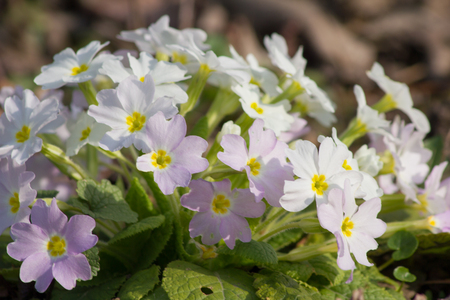 primula: White and purple flowers Primroses (Primula Vulgaris) on a bed Stock Photo