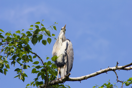 oft: Gray Heron is sitting on a tree in Germany and basks in the evening sun.The Great Blue Heron or Heron (Ardea cinerea) is a species of the order Ciconiiformes (Ciconiiformes). It is Widely distributed oft in Eurasia and Africa and. Worldwide four subspecie Stock Photo