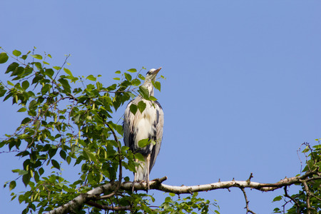 widely: Gray Heron is sitting on a tree in Germany and basks in the evening sun.The Great Blue Heron or Heron (Ardea cinerea) is a species of the order Ciconiiformes (Ciconiiformes). It is Widely distributed oft in Eurasia and Africa and. Worldwide four subspecie Stock Photo