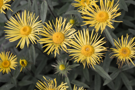 hirta: Downy Elecampane ( Inula hirta ) with yellow flowers in a garden in Goettingen , Germany