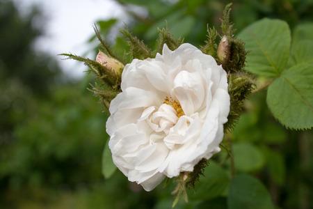 rosa: Damask Rose flowers (or Rosa de Quatre Saison ) in white in Goettingen, Germany. Its scientific name is Rosa x Damascena.