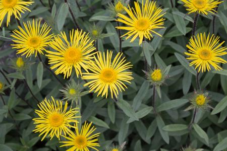 hirta: Downy Elecampane ( Inula hirta ) with yellow flowers in a garden in Goettingen , GermanyDowny Elecampane ( Inula hirta ) with yellow flowers in a garden in Goettingen , Germany Stock Photo
