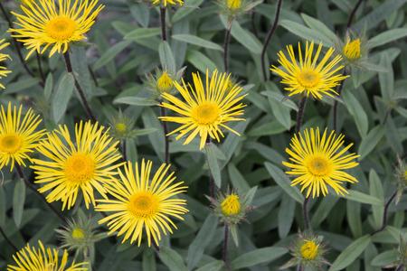 downy: Downy Elecampane ( Inula hirta ) with yellow flowers in a garden in Goettingen , GermanyDowny Elecampane ( Inula hirta ) with yellow flowers in a garden in Goettingen , Germany Stock Photo
