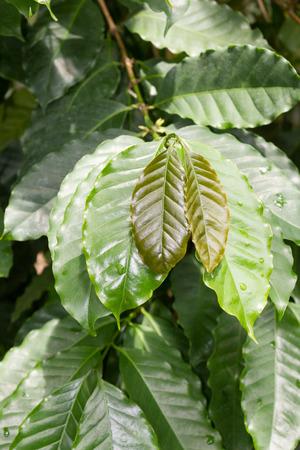 coffea: Beautiful green leaves of a coffee tree (coffea arabica)
