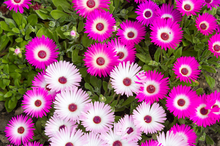 iceplant: Close-up of pink ice plants in a garden