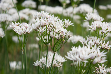 allium: White Allium (Allium ramosum) in a garden in Goettingen, Germany Stock Photo