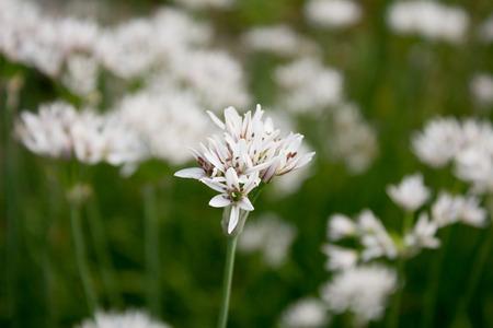 ramosum: White Allium (Allium ramosum) in a garden in Goettingen, Germany Stock Photo