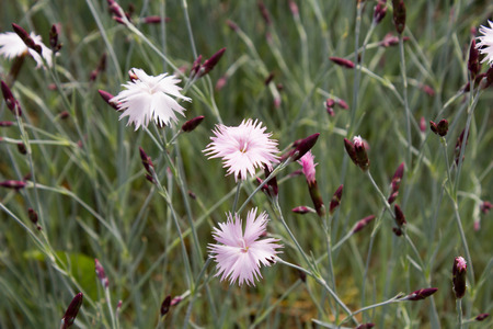 gillyflower: Border carnation (Dianthus caryophyllus) on a meadow Stock Photo