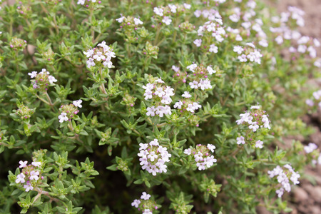 thymus: Thyme (Thymus vulgaris) is used as a medicinal and aromatic plant. Stock Photo