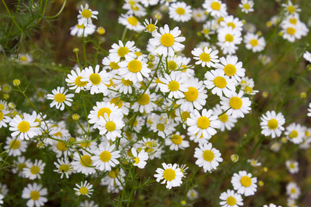 matricaria recutita: German tea chamomila (Chamomilla recutita) flowers on meadow