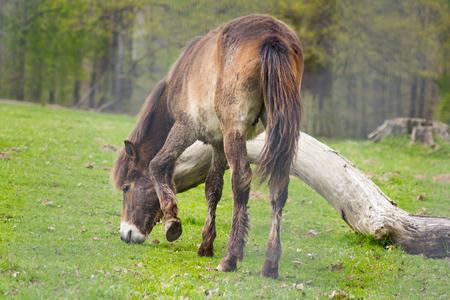 exmoor: Exmoor Pony in pasture