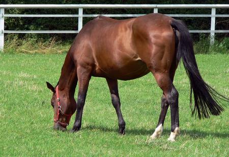 animal vein: German Horse Stock Photo