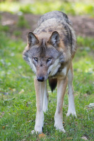 european: European Wolf