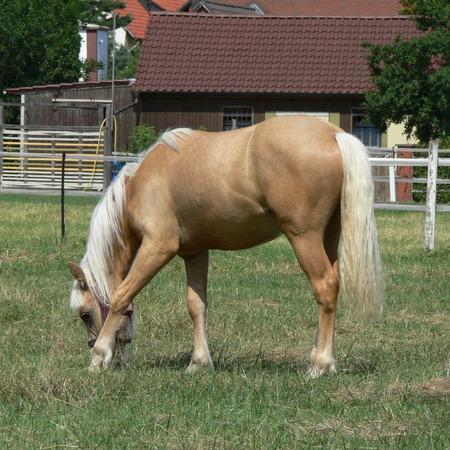 palomino: A young and happy Palomino horse