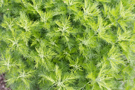 sagebrush: Sitherwood (Artemisia abrotanum). It is used as a medicinal and spice plant.
