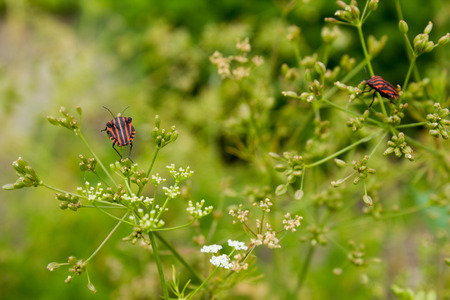 caraway: Caraway (Carum carvi). Cumin is one of the oldest spices.