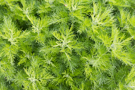 garderobe: Sitherwood (Artemisia abrotanum). It is used as a medicinal and spice plant.