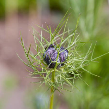black seed: Blackseed (Nigella sativa). For more than 2,000 years Black seed is used in the Orient as a pepper-like spice and medicine.