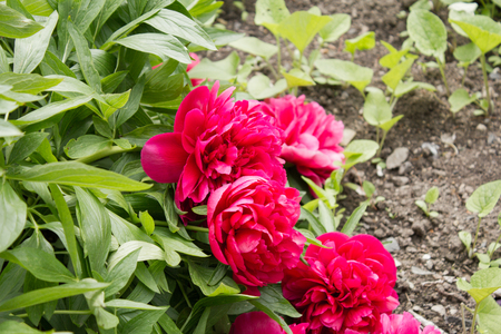 paeonia: Pink Peony ( Paeonia officinalis ) on a beautiful spring in a garden Stock Photo