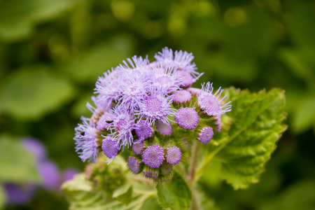 Blue mink (Ageratum houstonianum), close-up Reklamní fotografie