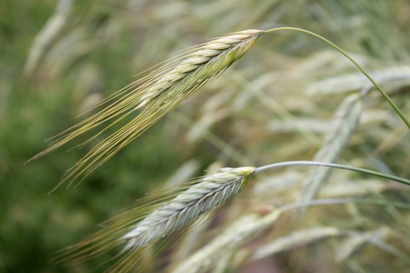 secale: Rye (Secale cereale), green, close-up Stock Photo