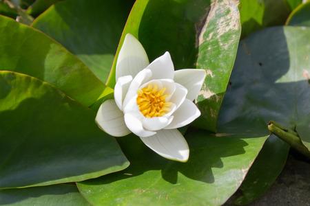 dwarf: Dwarf white water-lily (Nymphaea candida) Stock Photo